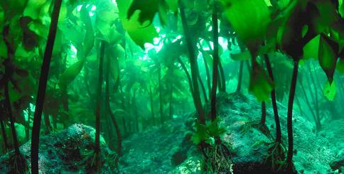 Tảo biển - Thực phẩm quý của đại dương