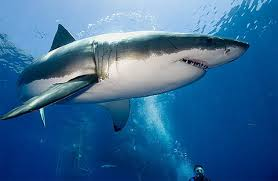 Sụn vi cá mập chữa bệnh gì ?