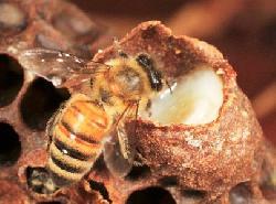 Sữa ong chúa mua ở đâu tốt và chất lượng nhất?