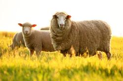 Tác dụng của nhau thai cừu của úc