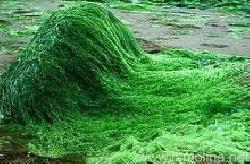 Công dụng của tảo spirulina - Tảo biển Spirulina có công dụng gì?