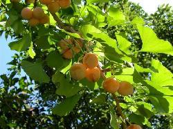 Những bí ẩn về Ginkgo Biloba - cây bạch quả