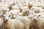Nhau thai cừu úc có tốt không ?