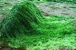 Hé Lộ Công Dụng Của Tảo Spirulina - Tảo Biển Có Công Dụng Gì?