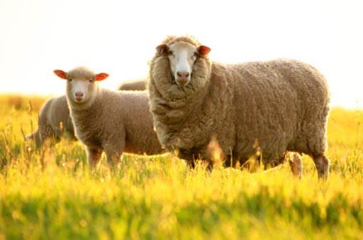 Nguồn gốc của nhau thai cừu